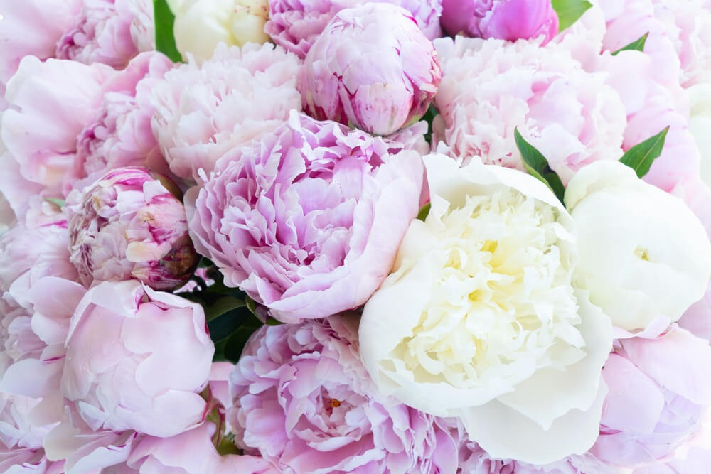 What Is Peony Flowers and Different Types of Peony Flowers